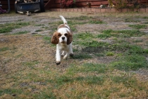Sylvie-Cavalier-Banksia Park Puppies - 6 of 27