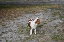 Sylvie-Cavalier-Banksia Park Puppies - 7 of 27