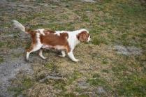 Sylvie-Cavalier-Banksia Park Puppies - 8 of 27