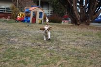 Sylvie-Cavalier-Banksia Park Puppies - 9 of 27