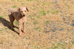 Tobasco-Poodle-Banksia Park Puppies - 1 of 80