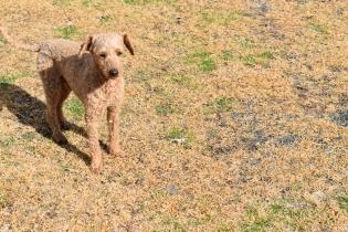 Tobasco-Poodle-Banksia Park Puppies - 1 of 80