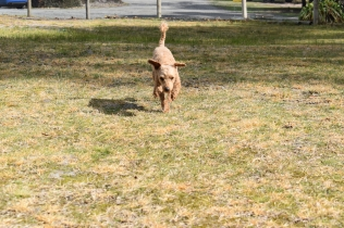 Tobasco-Poodle-Banksia Park Puppies - 10 of 80