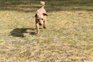 Tobasco-Poodle-Banksia Park Puppies - 11 of 80