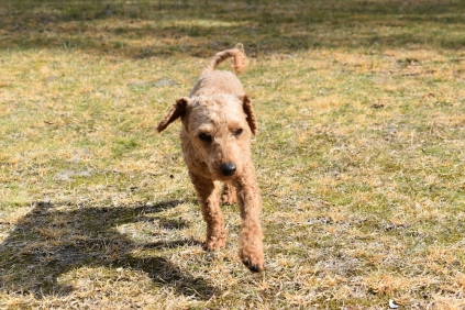 Tobasco-Poodle-Banksia Park Puppies - 12 of 80