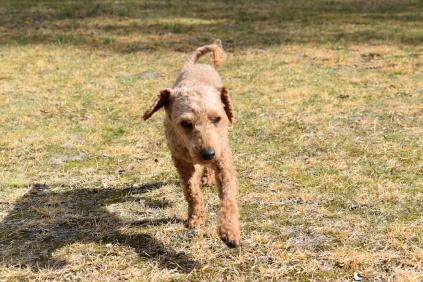 Tobasco-Poodle-Banksia Park Puppies - 12 of 80