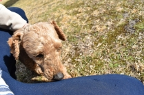 Tobasco-Poodle-Banksia Park Puppies - 14 of 80