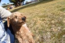 Tobasco-Poodle-Banksia Park Puppies - 16 of 80