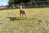 Tobasco-Poodle-Banksia Park Puppies - 17 of 80