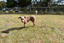 Tobasco-Poodle-Banksia Park Puppies - 18 of 80