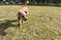 Tobasco-Poodle-Banksia Park Puppies - 19 of 80