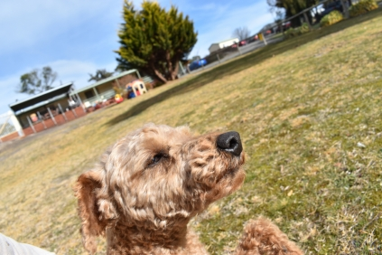 Tobasco-Poodle-Banksia Park Puppies - 20 of 80
