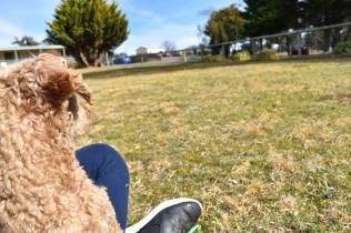 Tobasco-Poodle-Banksia Park Puppies - 21 of 80