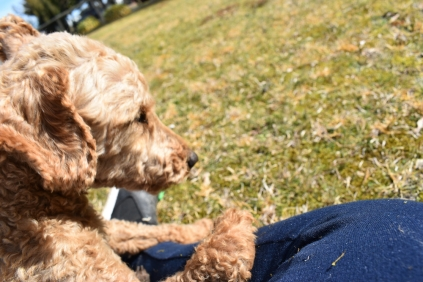 Tobasco-Poodle-Banksia Park Puppies - 23 of 80