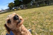 Tobasco-Poodle-Banksia Park Puppies - 25 of 80
