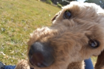 Tobasco-Poodle-Banksia Park Puppies - 27 of 80
