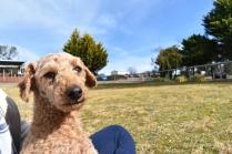 Tobasco-Poodle-Banksia Park Puppies - 28 of 80