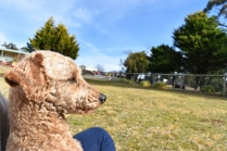 Tobasco-Poodle-Banksia Park Puppies - 29 of 80