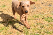 Tobasco-Poodle-Banksia Park Puppies - 3 of 80