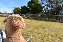 Tobasco-Poodle-Banksia Park Puppies - 30 of 80