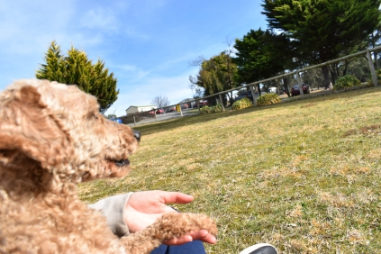 Tobasco-Poodle-Banksia Park Puppies - 31 of 80