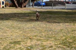 Tobasco-Poodle-Banksia Park Puppies - 32 of 80