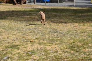 Tobasco-Poodle-Banksia Park Puppies - 33 of 80