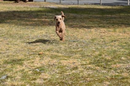 Tobasco-Poodle-Banksia Park Puppies - 34 of 80