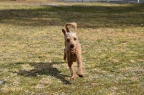 Tobasco-Poodle-Banksia Park Puppies - 35 of 80