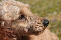 Tobasco-Poodle-Banksia Park Puppies - 36 of 80