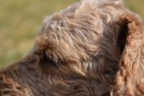 Tobasco-Poodle-Banksia Park Puppies - 37 of 80