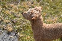 Tobasco-Poodle-Banksia Park Puppies - 38 of 80