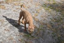 Tobasco-Poodle-Banksia Park Puppies - 39 of 80