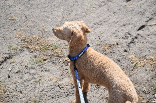 Tobasco-Poodle-Banksia Park Puppies - 44 of 80
