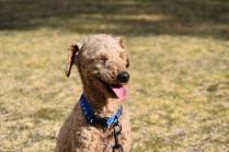 Tobasco-Poodle-Banksia Park Puppies - 46 of 80