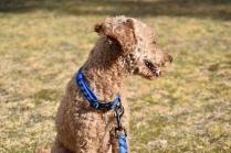 Tobasco-Poodle-Banksia Park Puppies - 47 of 80