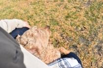 Tobasco-Poodle-Banksia Park Puppies - 5 of 80