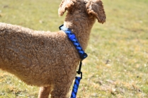 Tobasco-Poodle-Banksia Park Puppies - 51 of 80