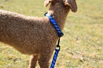 Tobasco-Poodle-Banksia Park Puppies - 52 of 80
