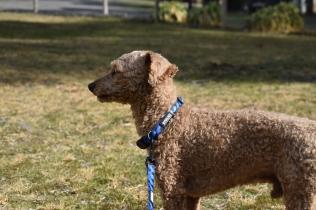 Tobasco-Poodle-Banksia Park Puppies - 55 of 80