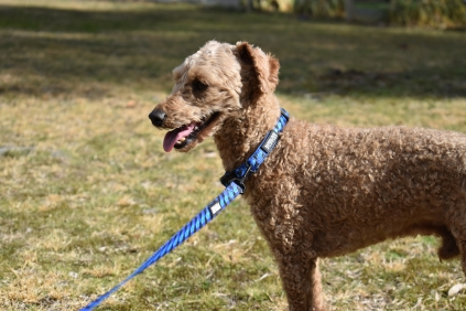 Tobasco-Poodle-Banksia Park Puppies - 56 of 80