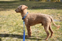 Tobasco-Poodle-Banksia Park Puppies - 57 of 80