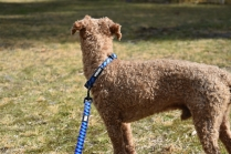 Tobasco-Poodle-Banksia Park Puppies - 58 of 80