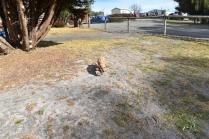 Tobasco-Poodle-Banksia Park Puppies - 6 of 80
