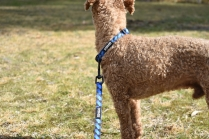Tobasco-Poodle-Banksia Park Puppies - 60 of 80