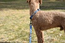 Tobasco-Poodle-Banksia Park Puppies - 60 of 80