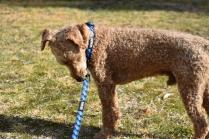 Tobasco-Poodle-Banksia Park Puppies - 63 of 80