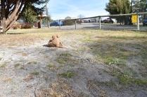 Tobasco-Poodle-Banksia Park Puppies - 7 of 80