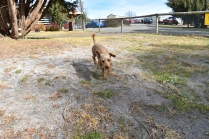 Tobasco-Poodle-Banksia Park Puppies - 8 of 80