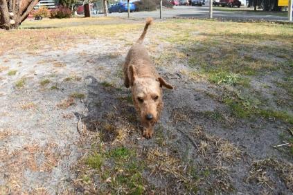 Tobasco-Poodle-Banksia Park Puppies - 9 of 80